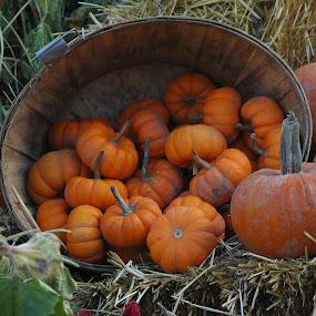 Cluster of kin by Wayne Paton - Novices Only Flowers & Plants ( pwcpumpkins, pumpkins, halloween )