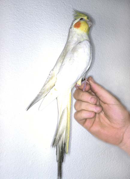 A lutino cockatiel with staining of the tail from being dipped in vitamin water, oiled seeds top dressed with vitamins and feces, as the perch was too low