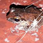 :Kani bushfrog