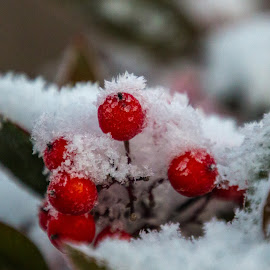 Christmas Red Snowberries by Kathy Suttles - Public Holidays Christmas ( macro, suttleimpressions, red berries, winter, oklahoma,  )