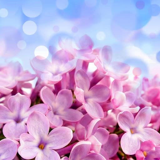라일락 꽃 라이브 배경 화면