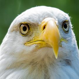 Bald Eagle by Keith Sutherland - Animals Birds ( bird, face, staring, bald eagle )
