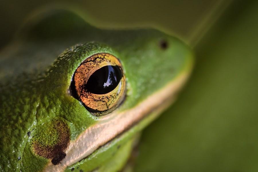 Tree In My Eye by Mark Halliday - Animals Amphibians ( wild, nature, frog, green, tree frog, amphibian, wildlife, nature close up, close up, eyes, eye,  )