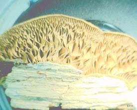 Photo: Lenzites (underside)