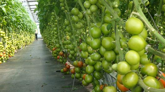 El plan VIRTIGATION trata las enfermedades víricas en tomates y cucurbitáceas