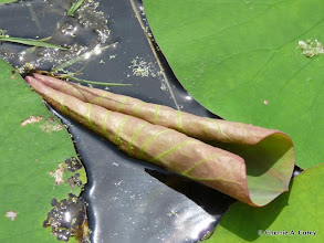 Photo: Young American lotus leaf