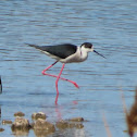 Black-winged stilt. Cigüeñuela