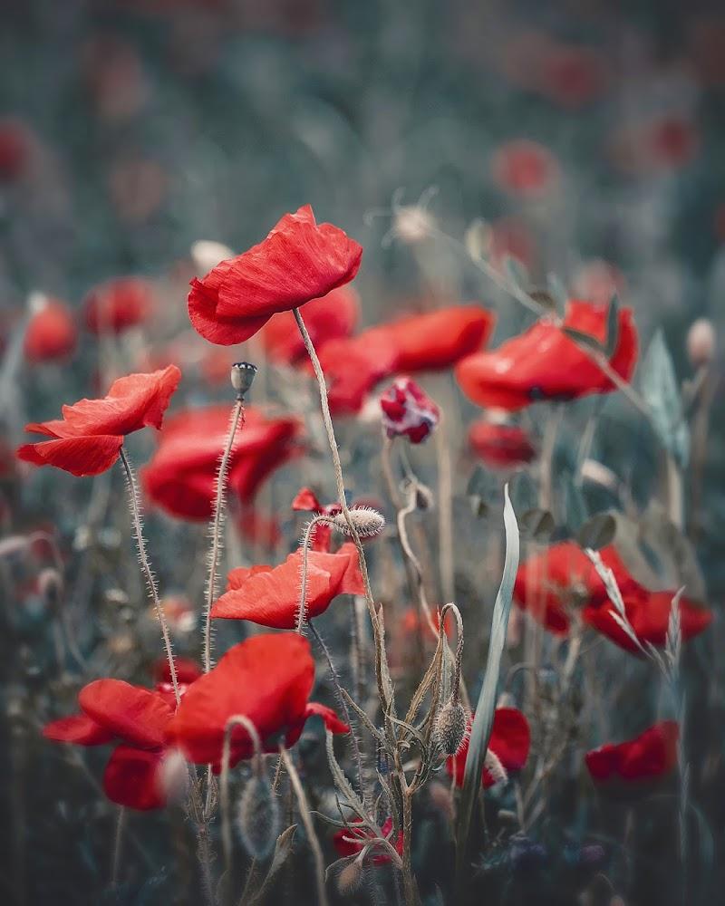 Poppy field di Cho
