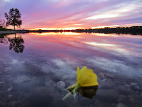 Photo: Yellow flower floating in a sunset at Eastwood Park in Dayton, Ohio.