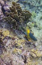 Photo: Spanish Hogfish. Common