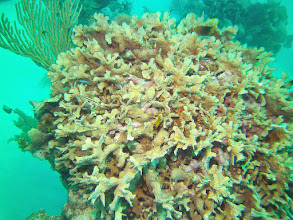 Photo: Life_in_the_Leaf_Coral