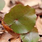 Wandplant