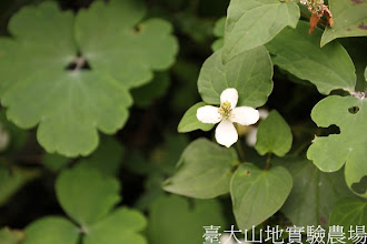 Photo: 拍攝地點: 梅峰-溫帶花卉區 拍攝植物: 魚腥草 拍攝日期:2012_08_30_FY
