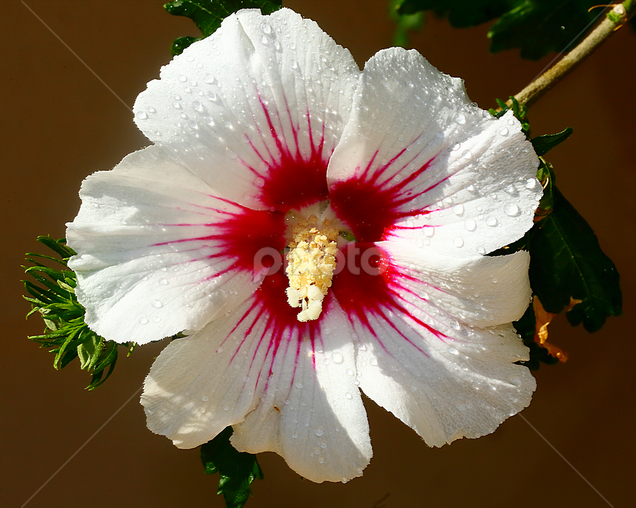 Hibiscus by Gérard CHATENET - Flowers Single Flower