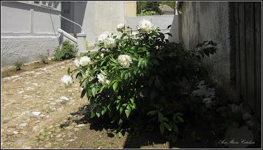 Photo: Bujor (Paeonia) - din Turda, Str. Salinelor, la curte - 2019.05.31