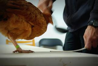 Photo: Od razu się okazuje, że kury są szybkie, a ruchy chochlą zbyt wolne, bądź kliknięcia zbyt mało precyzyjne...