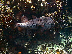 Photo: large starry pufferfish, Ao Maeyai