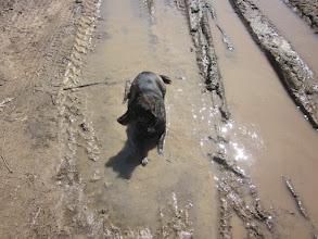 Photo: Sula loves mud
