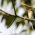 Golondrina Barranquera - Southern Rough-winged Swallow