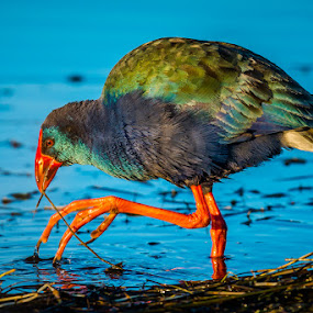 Swamphen by Joggie van Staden - Animals Birds ( water, bird, waterbird, nature, lake, feathers, animal )