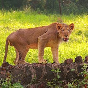 Lion  by Prabhakaran Arunachalam - Animals Lions, Tigers & Big Cats ( lion, animal )