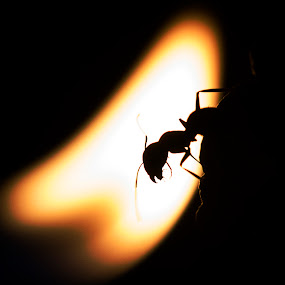 Fire Ant by Steven Butler - Abstract Macro ( macro, insect, ant, fire )