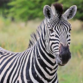 Zebra King by Jeff Abel - Animals Other Mammals