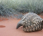 The Elusive Pangolin with Wild Magazine : Cape Union Mart - Centurion Mall
