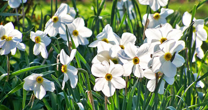 Photo: Glowing white daffodils in Cox Arboretum in Dayton, Ohio.