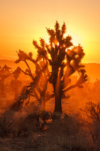 Photo: Joshua tree and golden sunset rays in dust in Mojave National Preserve