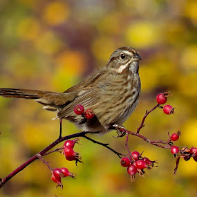 Song Sparrow  by Nick Swan - Animals Birds ( bird, nature, song sparrow, wildlife, fall bc )