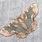 Wattle Bizarre Looper Moth (Female)
