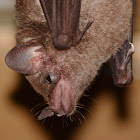 Spear-nosed Bat