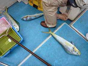 Photo: シイラの嵐!真鯛釣りの邪魔をします。