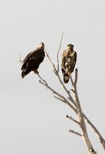 Photo: Juvenile Eagles