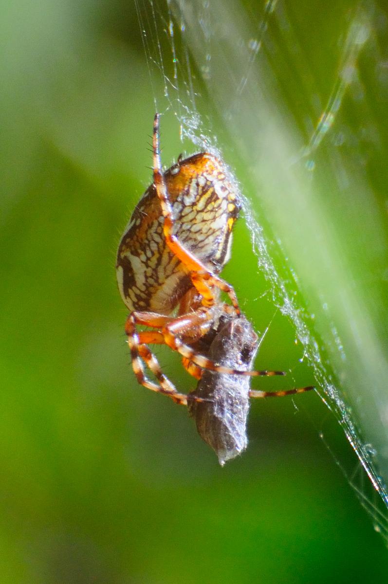 Oak Spider; Araña Orbitela