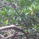 Mangle rojo
