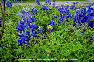 Photo: Bluebonnetts surround the abandoned Outlaw Service Station in Glen Rose, Texas. Ca you find the Lady Bug...