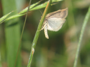 Photo: 9 Jul 13 Priorslee Lake: This is probably a boring grass moth: just as I pressed the shutter the moth took off showing the white underwing which makes them look so pale in flight. But it completely obscured the upper wing pattern essential to specific identification. (Ed Wilson)