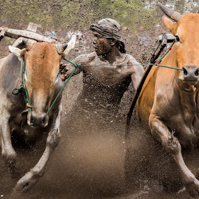 Pacu Jawi by Teddy Winanda - News & Events Sports ( west sumatera tourism, minangkabau culture, indonesia tourism, racing cows, pacu jawi )