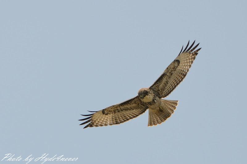 Photo: Hawk in the Sky