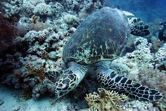 Photo: Green turtle (Chelonia mydas) off RasMohamed at 42 metres grazing on coral