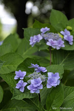 Photo: 専門的な花のメンテということになるとやはりそれだけでは厳しいのである。(2014,06,15)