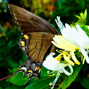 Morphed E.Tiger Swallowtail