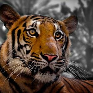 Tiger Pixoto.jpg