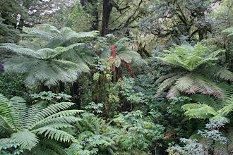 Photo: gemäßigter Regenwald (Baumfarne)