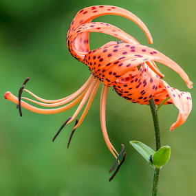 Orange Spotted Lily by Sue Matsunaga - Flowers Single Flower