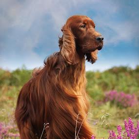 Rohan by Ken Jarvis - Animals - Dogs Portraits ( irish setter, irish, cute dog )