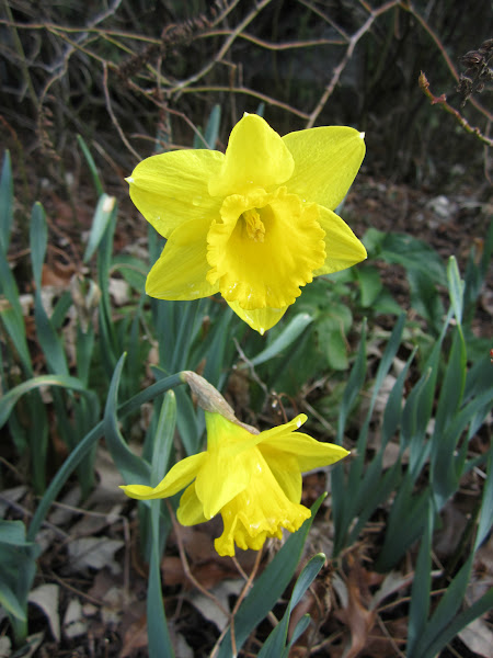 Photo: Narcissus 'Saint Keverne'-near Visitor Center - early blooming daffodil