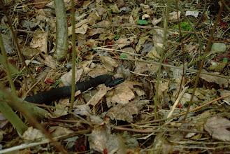 Photo: Northern Water Snake